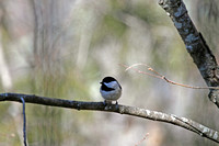 Carolina Chickadee 3