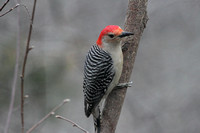 Red-Bellied Woodpecker, Side View