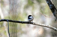 Carolina Chickadee 4