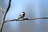 Carolina Chickadee 1