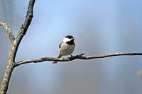 Carolina Chickadee 2