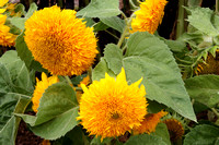 """Helianthus annuus"", Dwarf Teddy Bear"", Dwarf Teddy Bear Sunflower"", Sunflower, Asteraceae, Flower"