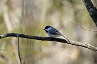 Carolina Chickadee 6
