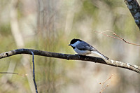 Carolina Chickadee 5
