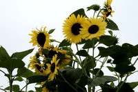 "Helianthus, ""Lemon Queen"", Lemon Queen Sunflower"", Sunflower, Asteraceae, Flower"