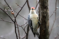 Red-Bellied Woodpecker, Facing Forward