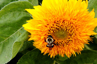 """Helianthus annuus"", Dwarf Teddy Bear"", Dwarf Teddy Bear Sunflower"", Sunflower, Asteraceae, Flower, Bee"