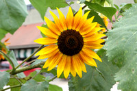 """Helianthus annuus"", ""Autumn Beauty"", ""Autumn Beauty Sunflower"", Sunflower, Flower, Asteraceae"