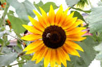 """Helianthus annuus"", ""Autumn Beauty"", ""Autumn Beauty Sunflower"", Sunflower, Flower, Asteraceae, Bee"