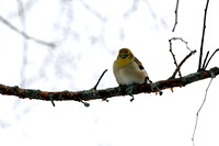 "Bird, ""Eastern Goldfinch"", Goldfinch"